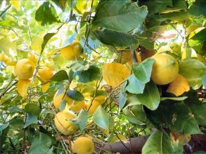 Lemon tree  Photo by YoungToymaker on Flikr